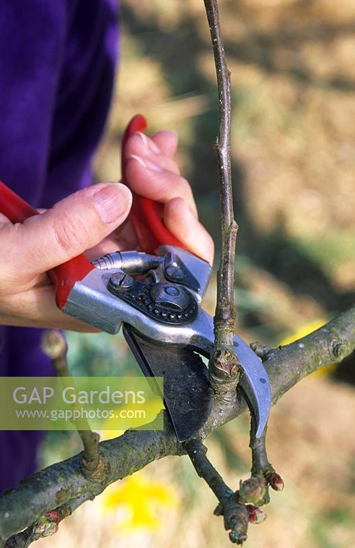 Pruning apple tree branch with secateurs in November