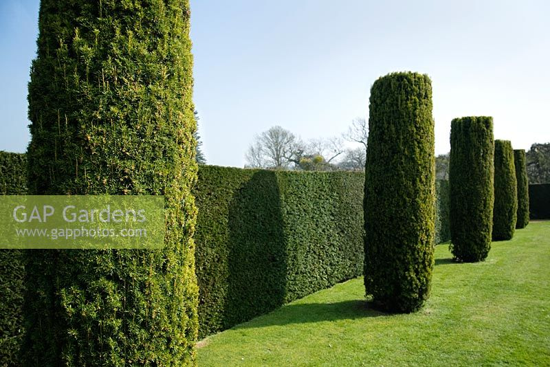 Yew topiary shaped into columns against yew hedge