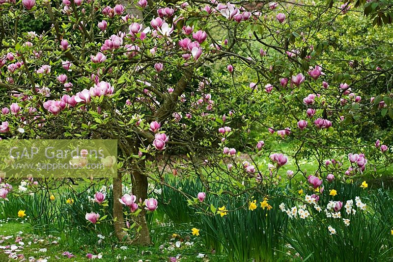 Magnolia x soulangeana and Narcissus in Spring - Exbury Gardens, Hampshire