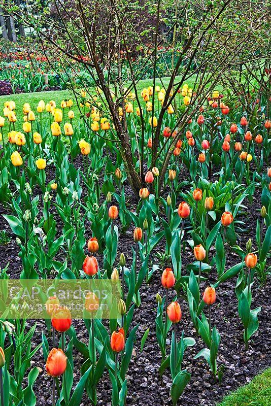 gap gardens tulipa lighting sun and olympic flame the tulip