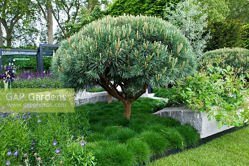 gap gardens clipped pinus sylvestris 39 watereri 39 underplanted with grasses the daily. Black Bedroom Furniture Sets. Home Design Ideas