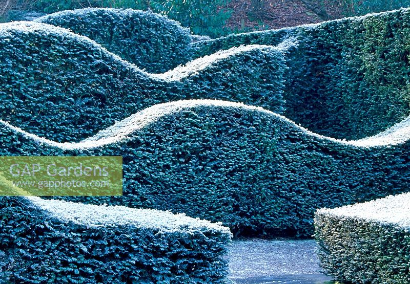 The Hedge Garden with Yew hedges - Veddw House Garden - February