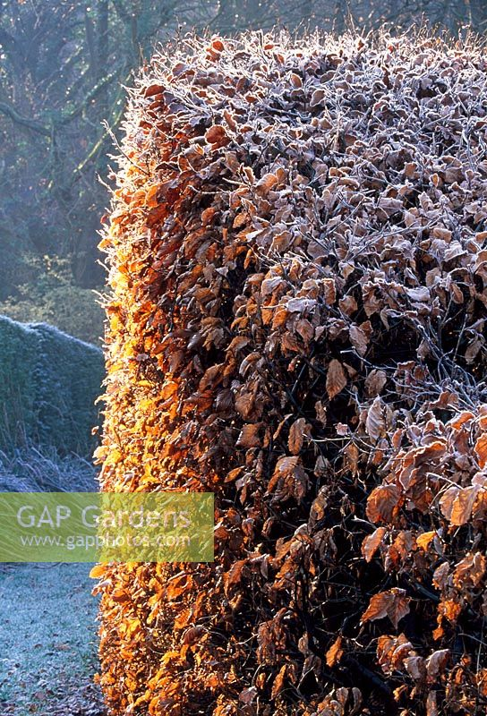 The 'wavy' Beech Hedge - Veddw House Garden, February