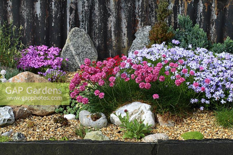 Alpine garden with Armeria maritima, Phlox 'Emerald Cushion Blue', Sedum pachyclados and Sempervivum - Thrift or Sea Pink, Stonecrop and Houseleek