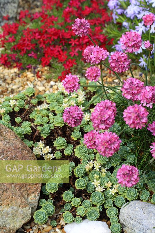 Sedum pachyclados and Armeria maritima in alpine garden - Stonecrop and Thrift or Sea Pink