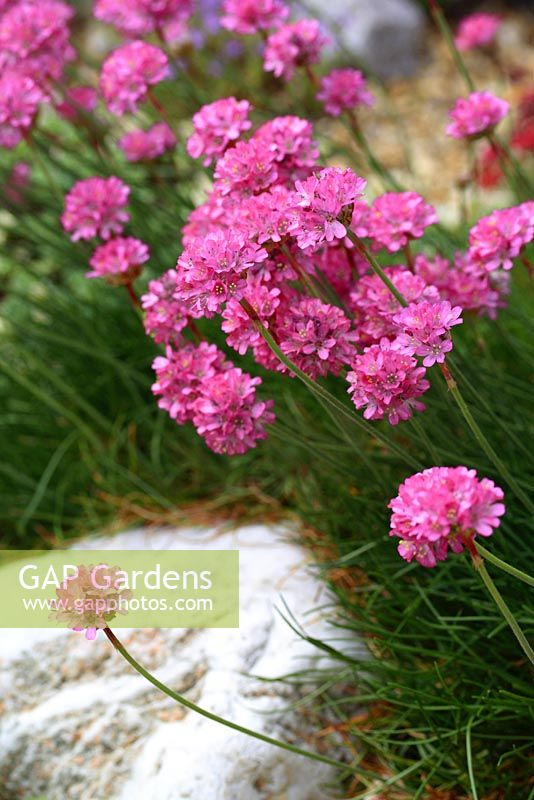 Armeria maritima - Thrift or Sea Pink