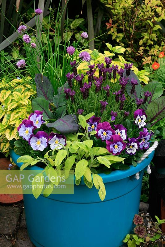 Yellow and purple themed rope handled bucket with Lavandula 'Regal Splendour', red cabbage, chives, yellow variegated sage Salvia officinalis 'Icterina', yellow variegated lemon balm Melissa officinalis 'Aurea' and pansies