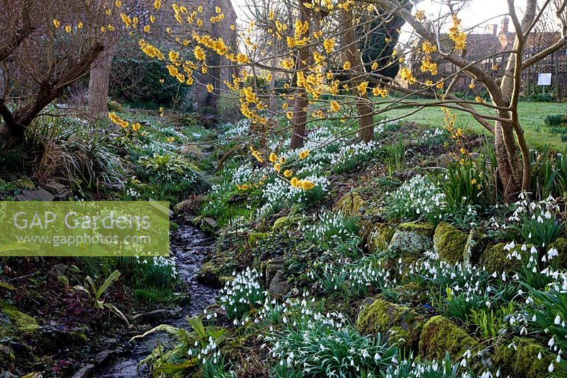 Snowdrops at East Lambrook Manor Garden in February