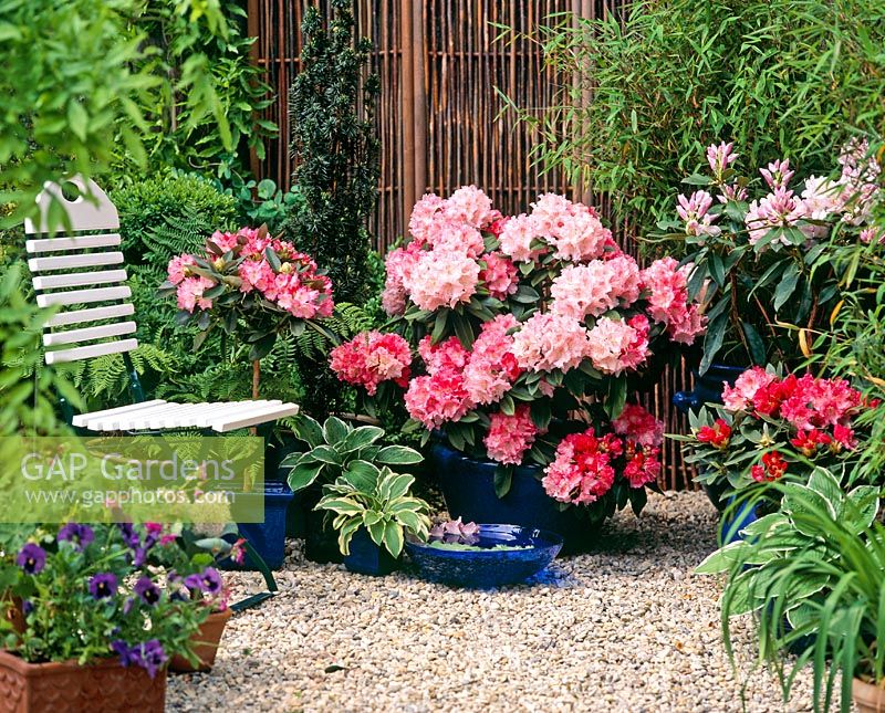 gap gardens container plantings of rhododendron. Black Bedroom Furniture Sets. Home Design Ideas