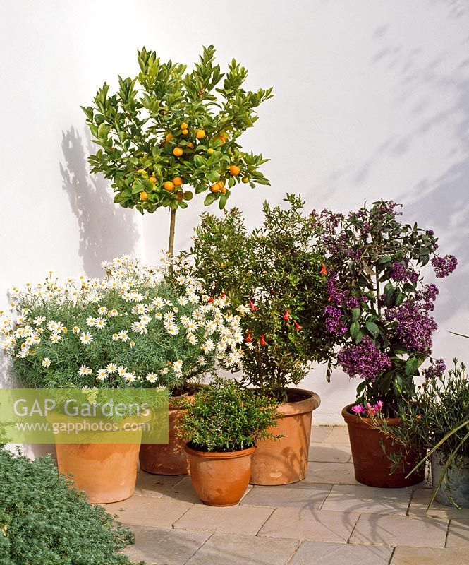 Chrysanthemum frutescens, Calamondin, Cuphea and Punica heliotropium in patio containers