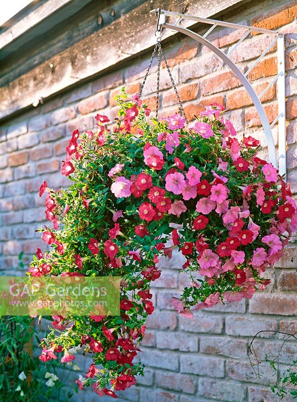 Petunia Conchita 'Grenadine' and Sunpleasure 'Pink' in hanging basket