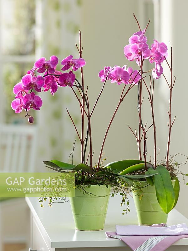 Phalaenopsis supported with Cornus stems