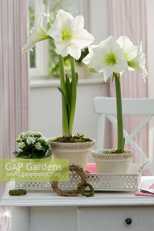 Amaryllis hippeastrum 'Denver' and Kalanchoe