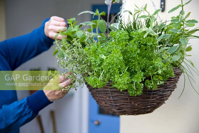 Harvesting herbs from hanging basket