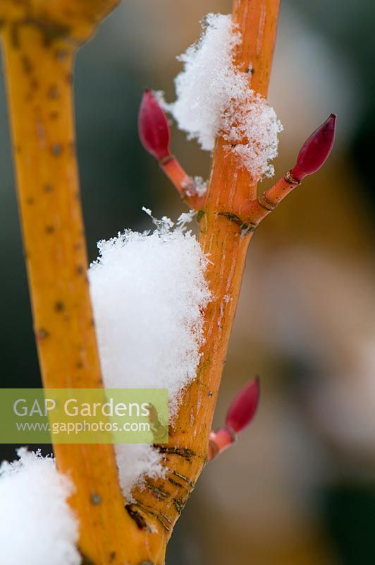 Acer rufinerve 'Erythrocladum' covered in snow