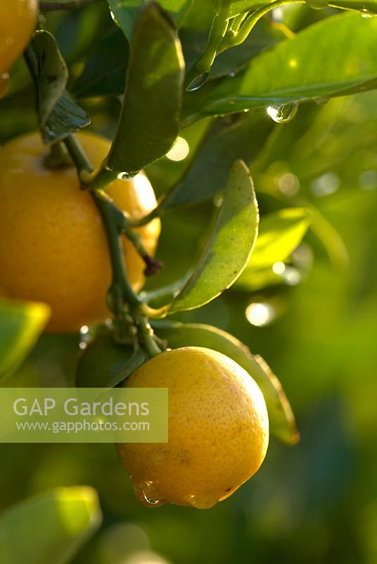 Citrus - Water droplets on Kumquat fruit