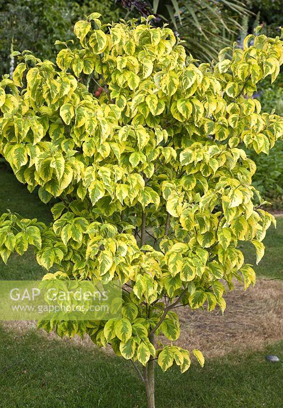 Gap gardens cornus florida 39 rainbow 39 millennium garden - Cornus florida rainbow ...