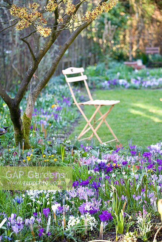 Sitting place in small garden with borders containing Crocus vernus 'Pickwick', Crocus tomassinianus 'Ruby Giant', Crocus tomassinianus 'Barr's Purple' and Hamamelis mollis