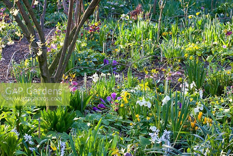 Mixed border with Helleborus, Eranthis hyemalis, Narcissus, Crocus vernus and Scilla mischtschenkoana