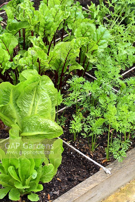 Cos lettuces, beetroot and carrots in raised beds designed for square foot gardening