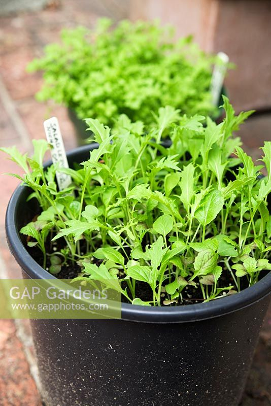 Salad leaves - 'Niche Oriental Mixed' growing in plastic pot