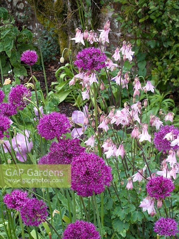 Alliums and Aquilegia flowering in May - Tapeley Park