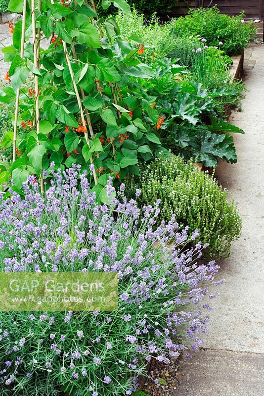 Small raised herb and vegetable border in domestic garden. Planting includes Lavandula, runner beans, courgettes and Thymus