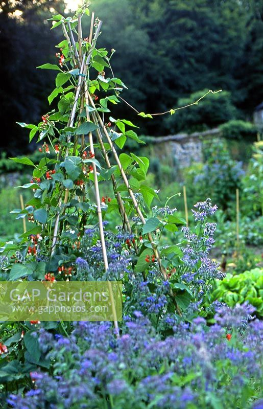 Runner beans growing up bamboo cane wigwam with clump of borage in a walled vegetable garden