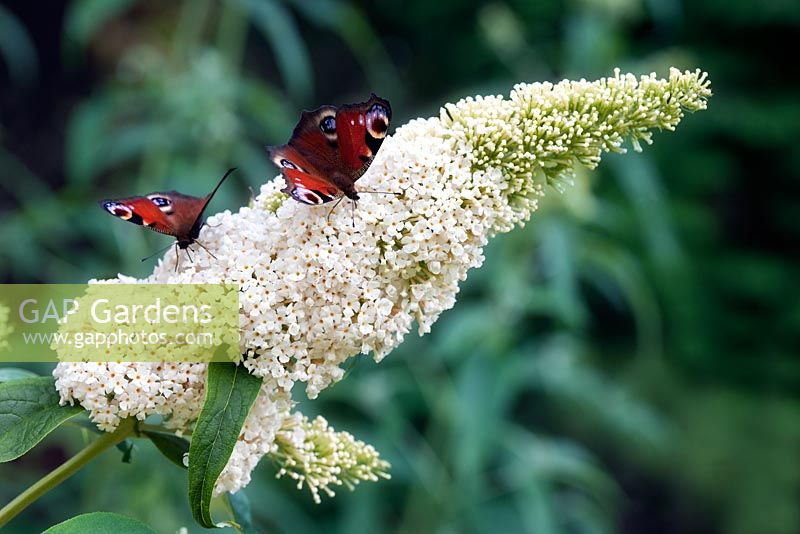 Buddleja 'White Profusion' with Peacock butterflies