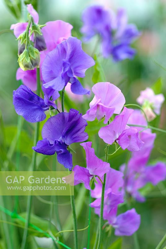 Lathyrus 'Oxford Blue' and 'Pall Mall'