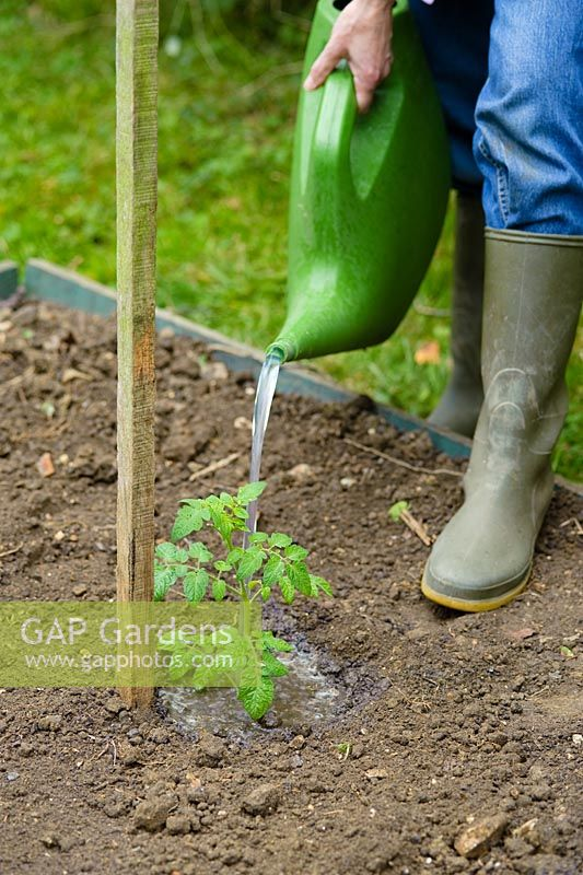 Step by step of preparing a vegetable bed for planting - Watering a newly planted tomato plant