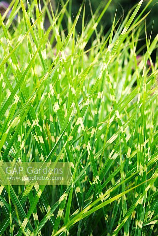 Ornamental Grasses Victoria Bc : Gap gardens miscanthus sinensis zebrinus zebra grass