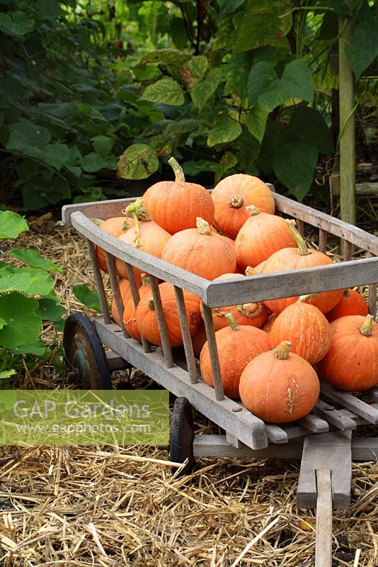 Harvested Cucurbita maxima 'Gold Nugget' squashes in wooden cart, September
