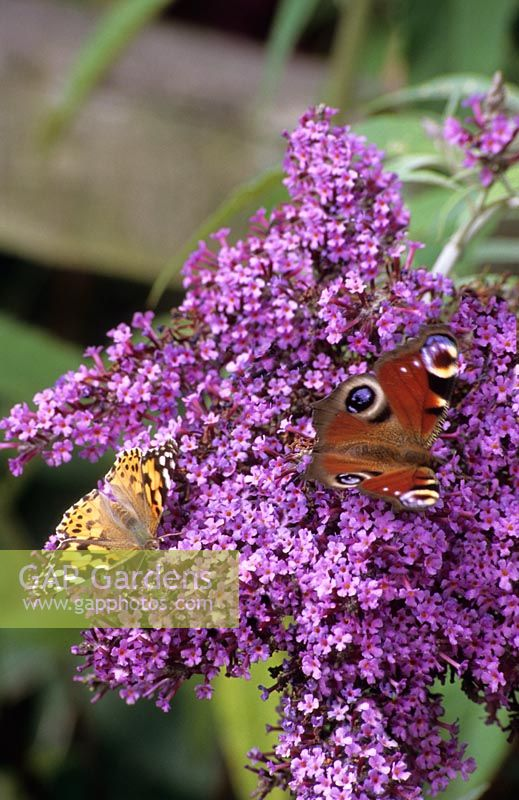 Peacock and Painted Lady butterflies on Buddlea Buddleja davidii 'Dartmoor'