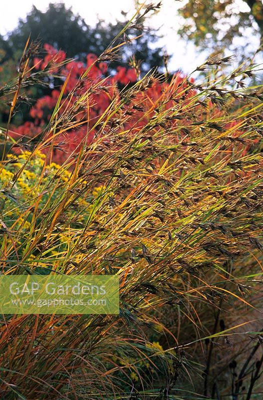 Seedheads of Andropogon gerardii in autumn at Hermannshof Garden, Germany. October