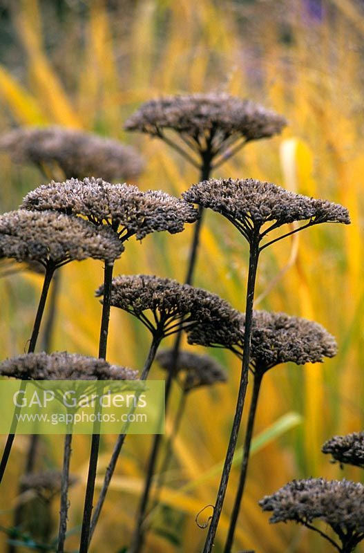 Seedheads of Achillea filipendulina 'Gold Plate' in autumn at Hermannshof Garden, Germany