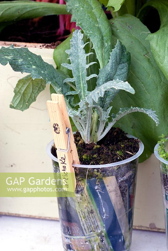 artichoke plants in containers wwwimgkidcom the