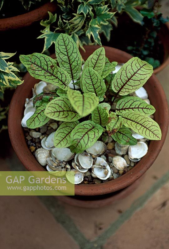 Rumex sanguineus var. sanguineus - Blood Sorrel in clay pot, shell mulch