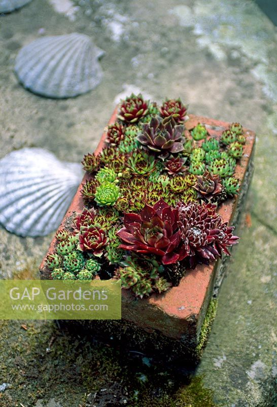 Brick planted with Sempervivums - Houseleeks