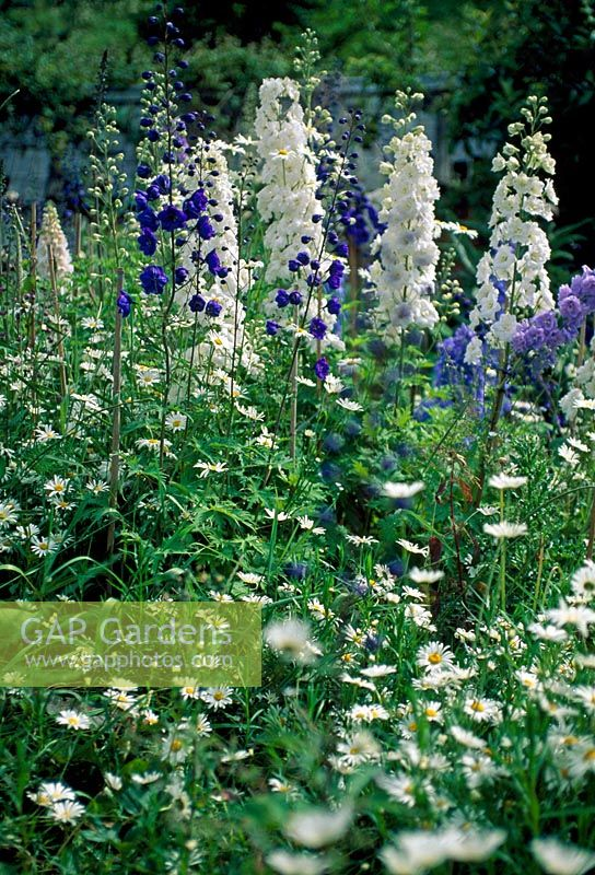 Mixed delphiniums in border