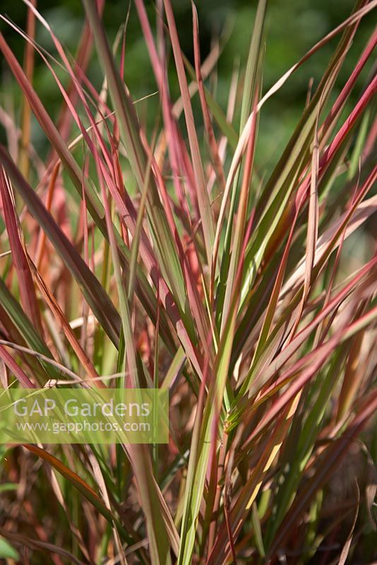 gap gardens ornamental grass with pinky red and green