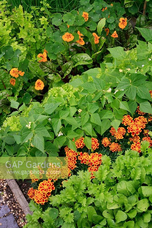 Flowers mixed in with vegetables to attract beneficial insects and aid pollination. Tagetes patula 'Durango Bee' - French Marigold with Mustard 'Oriental Pizzo', Radish, Dwarf bean 'Orinoco', Lettuce' Lollo Biondo', Ruby chard 'Vulcan' and Tropaeolum minus 'Ladybird' - Nasturtium