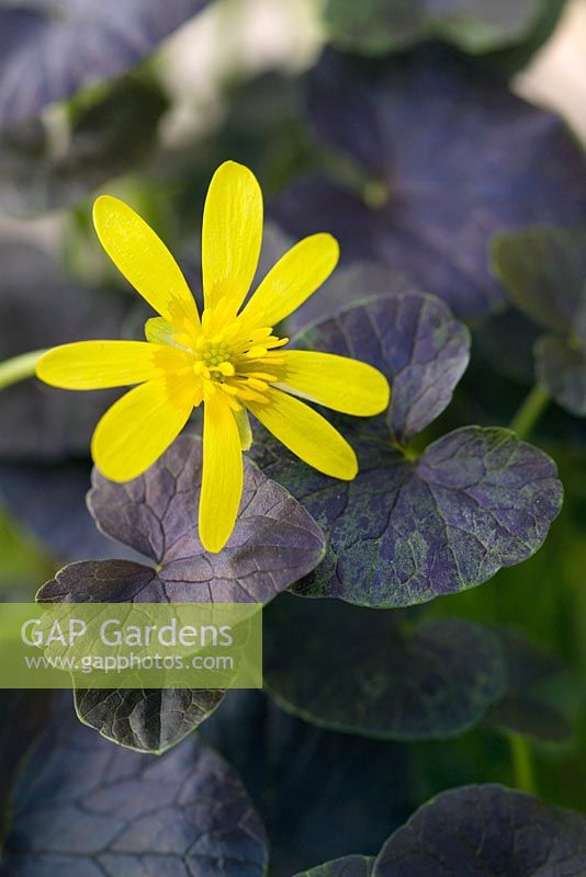 Ranunculus ficaria 'Brazen Hussy' -  Lesser Celandine. Yellow flowering perennial with chocolate dark brown leaves