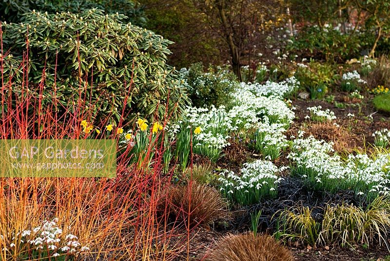 Cornus sanguinea 'Midwinter Fire', Dogwood, Dogberry, Carex, Sedge, Acorus gramineus 'Ogon', Ophiopogon planiscapus 'Nigrescens', Snake's Beard, Galanthus 'S. Arnott', Snowdrop, Narcissus 'Rijnveld's Early Sensation', Daffodil, Rhododendron -Mixed Winter border with drift of Snowdrops at Foggy Bottom, Bressingham, Norfolk, UK in February, Winter