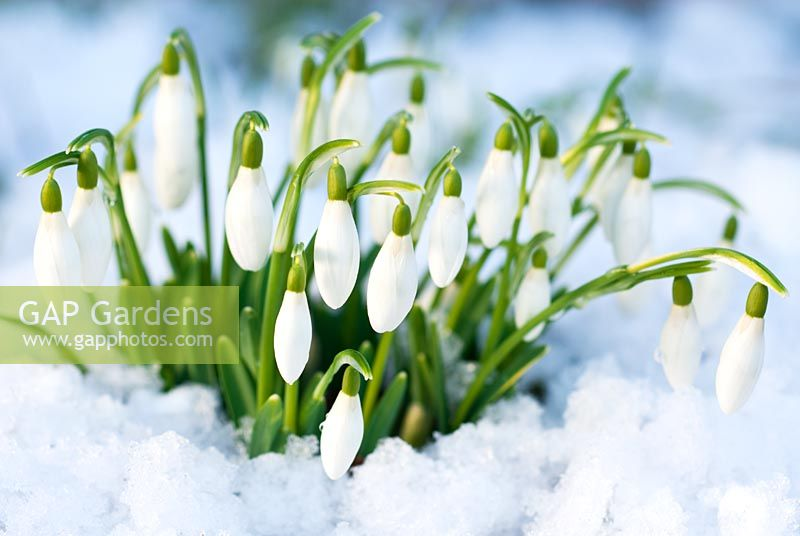 Galanthus nivalis, Snowdrop in snow in February, Winter