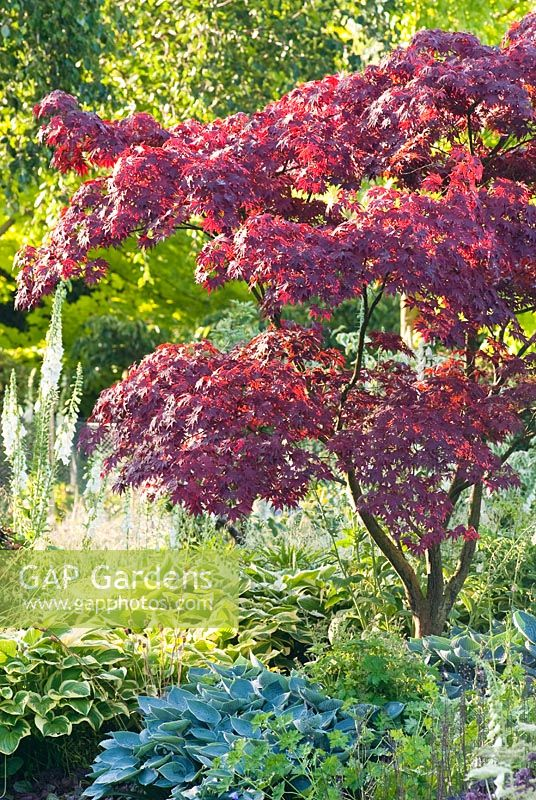 Japanese Maple - Acer palmatum 'Fireglow', syn. Acer palmatum 'Effegi', in border with Hostas 'Halcyon' and 'Shade Fanfare' at Foggy Bottom, Bressingham, Norfolk, UK