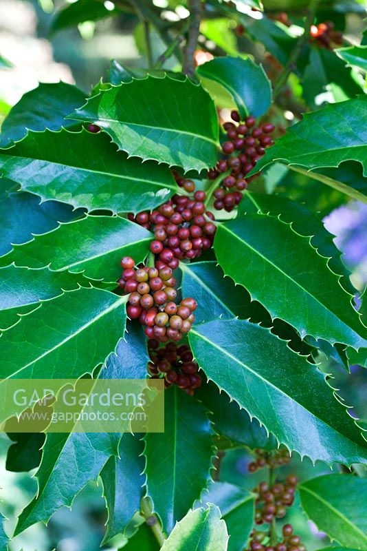 Ilex x koehneana 'Chestnut Leaf' with berries