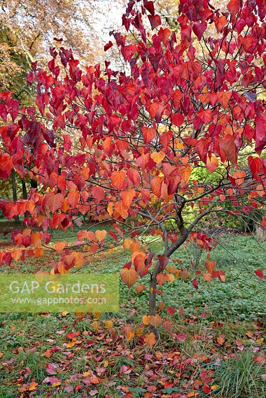 Cercis canadensis 'Forest Pansy' - autumn foliage