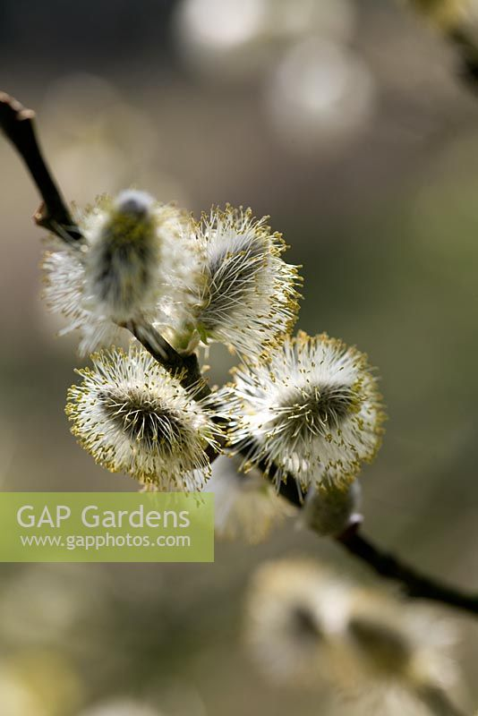 Catkins of Salix caprea -Goat Willow in Spring