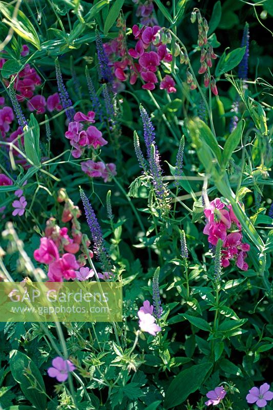 Hebe and Lathyrus latifolius